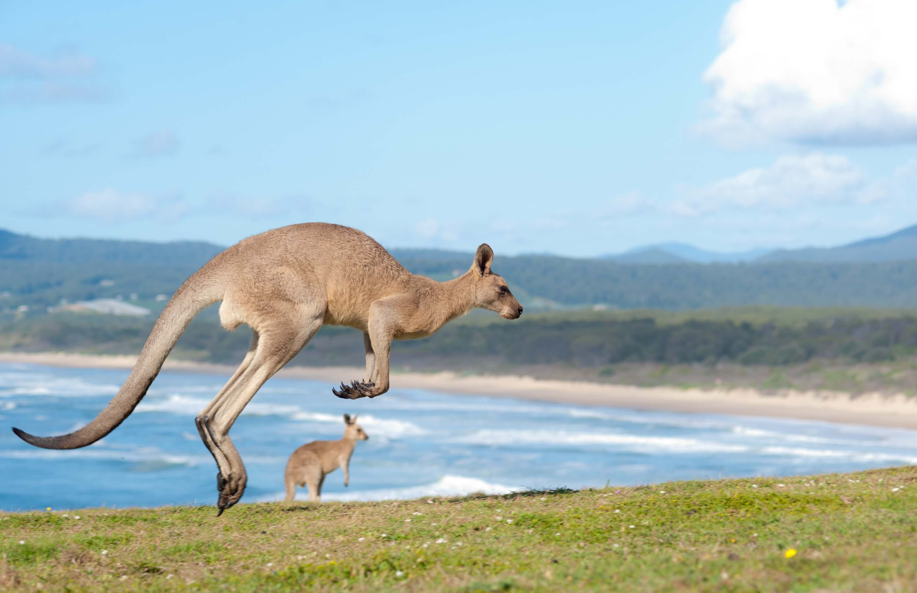 3 underrated travel destinations in Australia - kangaroos on the beach